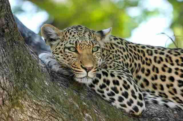leopardo albero